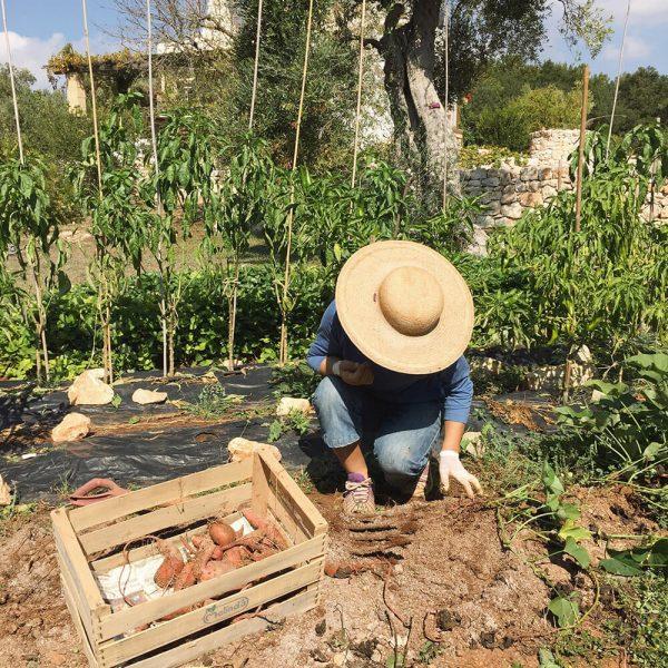 Sweet Potatoe Harvest